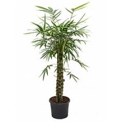 Бамбук ventricosa bush Диаметр горшка — 29 см Высота растения — 130 см