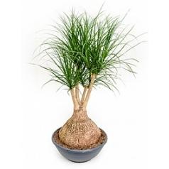 Нолина (Бокарнея) Нолина branched Диаметр горшка — 60 см Высота растения — 140 см