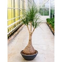 Нолина (Бокарнея) Нолина branched Диаметр горшка — 60 см Высота растения — 175 см