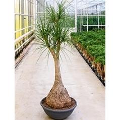 Нолина (Бокарнея) Нолина branched Диаметр горшка — 60 см Высота растения — 210 см