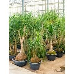 Нолина (Бокарнея) Нолина branched Диаметр горшка — 60 см Высота растения — 240 см