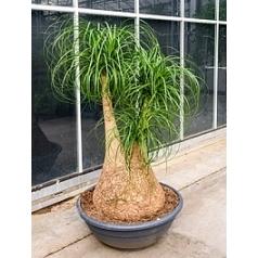 Нолина (Бокарнея) Нолина branched Диаметр горшка — 80 см Высота растения — 180 см