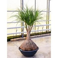 Нолина (Бокарнея) Нолина branched Диаметр горшка — 80 см Высота растения — 200 см