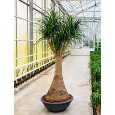 Нолина (Бокарнея) Нолина branched Диаметр горшка — 80 см Высота растения — 240 см