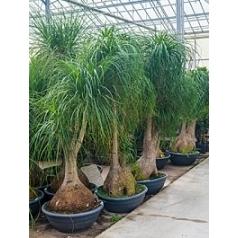 Нолина (Бокарнея) Нолина branched Диаметр горшка — 80 см Высота растения — 260 см