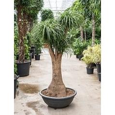 Нолина (Бокарнея) recurvata branched (150) Диаметр горшка — 80 см Высота растения — 210 см