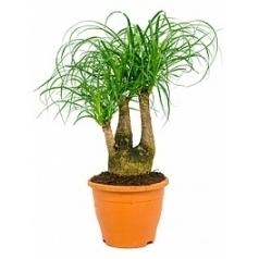 Нолина (Бокарнея) recurvata branched (30) Диаметр горшка — 23 см Высота растения — 60 см