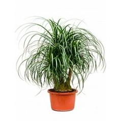 Нолина (Бокарнея) recurvata branched (40-50) Диаметр горшка — 40 см Высота растения — 100 см