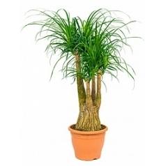 Нолина (Бокарнея) recurvata branched (60) Диаметр горшка — 29 см Высота растения — 90 см