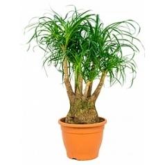 Нолина (Бокарнея) recurvata branched (60) Диаметр горшка — 32 см Высота растения — 90 см