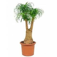 Нолина (Бокарнея) recurvata branched (90) Диаметр горшка — 45 см Высота растения — 125 см