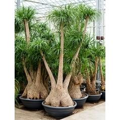 Нолина (Бокарнея) recurvata branched Диаметр горшка — 80 см Высота растения — 250 см