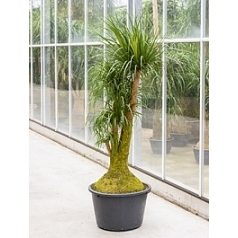 Нолина (Бокарнея) recurvata branched Диаметр горшка — 55 см Высота растения — 170 см