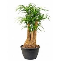 Нолина (Бокарнея) recurvata branched Диаметр горшка — 30 см Высота растения — 90 см