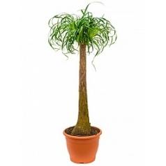 Нолина (Бокарнея) recurvata stem (50) Диаметр горшка — 32 см Высота растения — 125 см