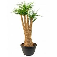 Нолина (Бокарнея) recurvata stem branched Диаметр горшка — 40 см Высота растения — 130 см