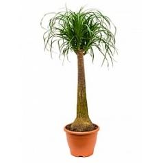 Нолина (Бокарнея) recurvata stem Диаметр горшка — 26 см Высота растения — 100 см