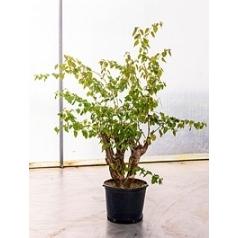 Бугенвиллея glabra stem Диаметр горшка — 45 см Высота растения — 150 см