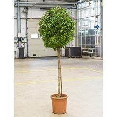 Бугенвиллея seriana stem Диаметр горшка — 36 см Высота растения — 220 см