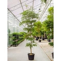 Буцида buceras shady lady stem/bush (250-300) Диаметр горшка — 50 см Высота растения — 275 см