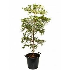 Буцида buceras shady lady stem Диаметр горшка — 40 см Высота растения — 200 см
