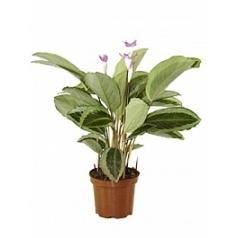 Калатея bicajoux gecko pink Диаметр горшка — 17 см Высота растения — 70 см
