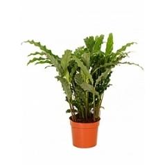Калатея blue grass Диаметр горшка — 12 см Высота растения — 40 см