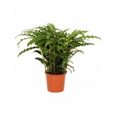 Калатея blue grass Диаметр горшка — 17 см Высота растения — 50 см