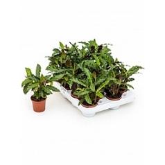 Калатея elgergrass 16/tray Диаметр горшка — 7 см Высота растения — 25 см