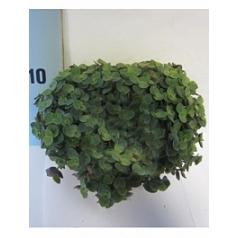 Каллизия turtle Диаметр горшка — 10.5 см Высота растения — 20 см
