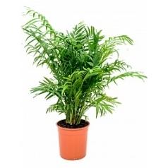 Хамедорея elegans bush Диаметр горшка — 19 см Высота растения — 80 см