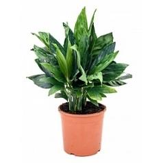Хамедорея metalica bush Диаметр горшка — 22 см Высота растения — 60 см