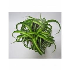 Хлорофитум bonnie hanger Диаметр горшка — 10.5 см Высота растения — 15 см