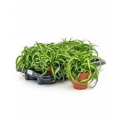 Хлорофитум bonnie hanger Диаметр горшка — 12 см Высота растения — 20 см