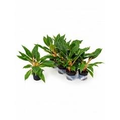 Хлорофитум green orange Диаметр горшка — 12 см Высота растения — 45 см
