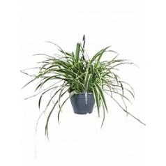 Хлорофитум reversed variegatum hanger Диаметр горшка — 19 см Высота растения — 60 см