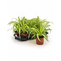 Хлорофитум variegatum hanger Диаметр горшка — 12 см Высота растения — 30 см