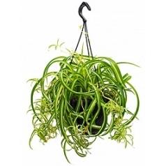 Хлорофитум variegatum hanger Диаметр горшка — 20 см Высота растения — 40 см