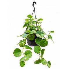 Циссус rotundifolia hanger Диаметр горшка — 20 см Высота растения — 35 см