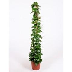Циссус rotundifolia pyramid Диаметр горшка — 27 см Высота растения — 160 см