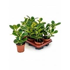 Клузия rosea gold rush Диаметр горшка — 12 см Высота растения — 35 см
