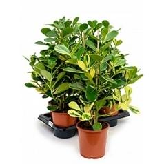 Клузия rosea gold rush Диаметр горшка — 17 см Высота растения — 65 см