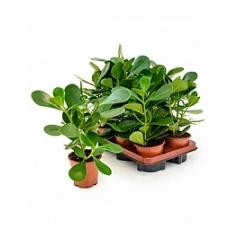 Клузия rosea green magic Диаметр горшка — 12 см Высота растения — 35 см