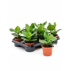 Клузия rosea princess 1 Диаметр горшка — 9 см Высота растения — 25 см