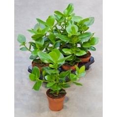 Клузия rosea princess Диаметр горшка — 12 см Высота растения — 30 см