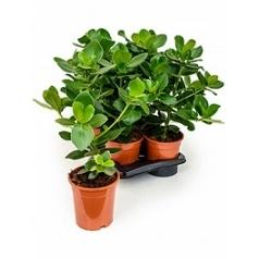 Клузия rosea princess Диаметр горшка — 17 см Высота растения — 55 см