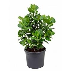 Клузия rosea princess bush 1pp Диаметр горшка — 29 см Высота растения — 70 см