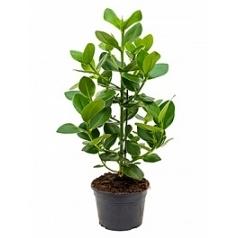 Клузия rosea princess bush 1pp Диаметр горшка — 21 см Высота растения — 70 см