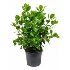 Клузия rosea princess bush 2pp Диаметр горшка — 31 см Высота растения — 70 см