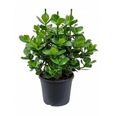 Клузия rosea princess bush 3pp Диаметр горшка — 35 см Высота растения — 90 см